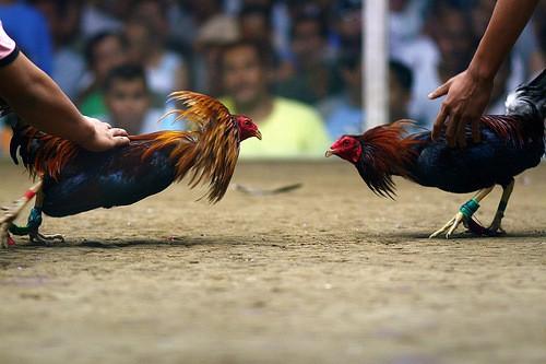 Sabung Ayam dan Makanannya