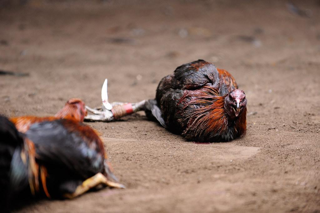 S1288 Situs Sabung Ayam Terpercaya
